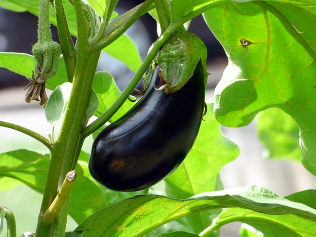 Benefits and importance of kitchen gardening - Eggplant